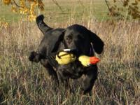 We have one purebred, AKC Registered, black Labrador