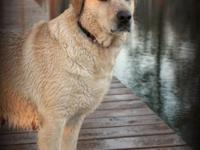 Annie is a gorgeous yellow female Labrador Retriever