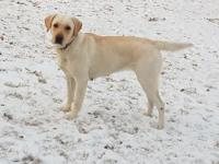 Yellow labrador --the pups are classified under yellow