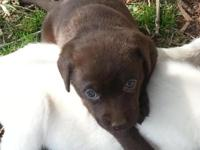 AKC registered Chocolate female, farm raised, shots and