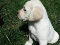 AKC registered Yellow female, shots wormed, farm