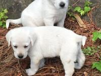 These gorgeous white to light lab pups are some of the
