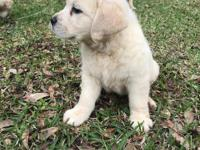 Lil Pill is a gorgeous light yellow Labrador female.