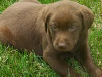 Hersey Kiss is one Beautiful Chocolate female puppy she