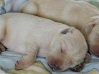 APR registered YELLOW LAB puppies. Current on shots and