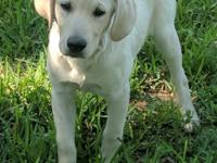 AKC reg. Male lab puppy. He is raised with kids. He is