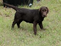 AKC registered male chocolate lab puppy. He is a sweet