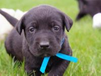 Our family has been raising Labrador retriever puppies