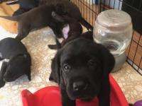 AKC Black Labrador puppies. 1female available. Faith
