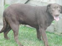 Hershey is one Awesome Chocolate male pup he is Silver