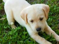 I have English/American labradors at 6 weeks of age,