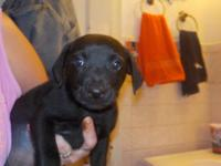 darling black labrador retriever very smart please call