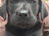 Beautiful AKC Black Males. Current on