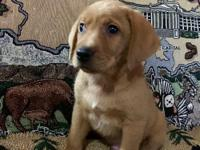 Our Lab Pups are AKC Registered and come with FULL