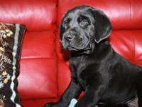 AKC - Black lab puppies. I have a litter of puppies