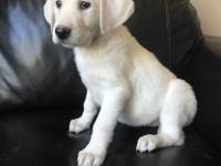 AKC - I have a litter of white Lab puppies available.