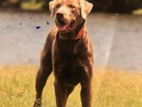 Beautiful AKC female silver lab puppy. She will come up