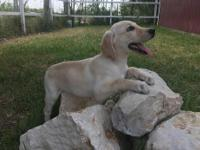 Adorable, super healthy,male, yellow Lab puppy. Very