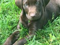 AKC chocolate lab pups. First shots and wormed. Family