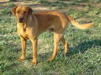 Beautiful yellow to light fox red lab male puppies ~ 3