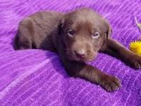 Copper is a adorable Chocolate boy. Both parents are