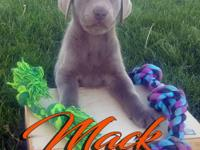 Mack is great lab he is the thickest of all his litter