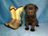 We have a Gorgeous litter of AKC Labrador Retriever