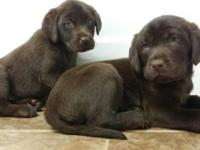 Chocolate lab pups 8 weeks old AKC registered Up to