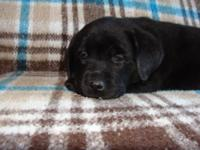AKC OFA Labrador Pups. They are Chocolate and Black,