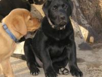 Lovely Black, Yellow or Red Male labrador Retriever's ,