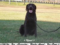Don't miss out on these wonderful Labrador Retrievers
