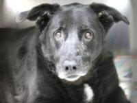 Labrador Retriever - Queen - Large - Senior - Female -