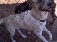 Labrador Retriever - Radish - Large - Adult - Female -
