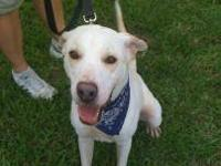 Labrador Retriever - Ralph - Large - Young - Male -