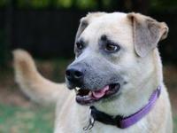 Labrador Retriever - Rambo - Large - Adult - Male -