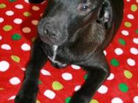 Labrador Retriever - Range - Large - Young - Male -