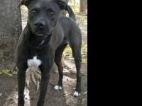 Labrador Retriever - Reba - Large - Adult - Female -