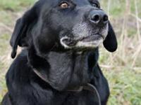 Labrador Retriever - Reba - Large - Adult - Female -
