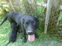 Labrador Retriever - Reese - Large - Adult - Female -