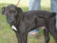 Labrador Retriever - Regan - Medium - Young - Male -
