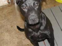 Labrador Retriever - Rhett - Medium - Young - Male -