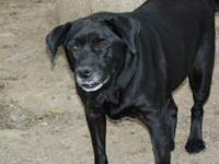 Labrador Retriever - Ringo - Senior Lab - Medium -