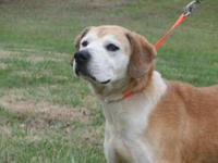 Labrador Retriever - Rocco - Large - Senior - Male -