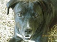 Labrador Retriever - Rocky - Medium - Adult - Male -