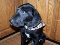 Labrador Retriever - Rocky - Medium - Baby - Male -