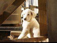 Labrador Retriever - Rose - Large - Baby - Female -