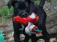 Labrador Retriever - Rosie - Medium - Baby - Female -