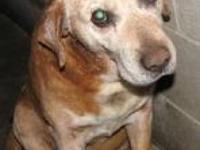 Labrador Retriever - Roy - Large - Senior - Male - Dog