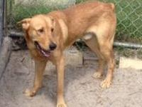 Labrador Retriever - Rufus - Large - Adult - Male -