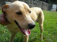 Labrador Retriever - Rusty - Medium - Young - Male -